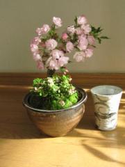 送料無料桜盆栽:桜とこけもも  仲良く お花見盆栽 雲海信楽コップ付き