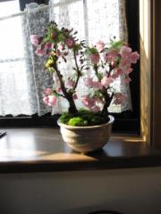 桜盆栽:ツイン桜盆栽桜盆栽信楽鉢入り    自宅で お花見ができます 桜盆栽