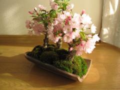 桜並木桜盆栽お祝い桜盆栽信楽鉢入り 送料無料    贈り物にも最適 桜並木