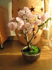桜盆栽:八重桜盆栽桜盆栽信楽鉢入り