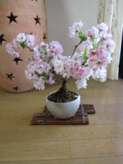 盆栽:桜盆栽桜盆栽信楽鉢入り 朝日山桜盆栽で 日本の花見