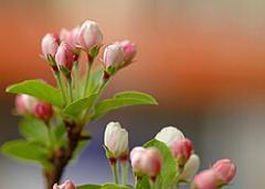 ミニ盆栽:【ミニ盆栽】【深山海棠】【楽天市場のお中元】 【送料無料】