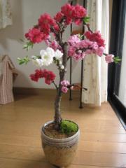 2018年3月末頃〜4月に開花の南京しだれ 三色桃盆栽で 開花お花見 桃の節句に 綺麗に咲いた お花をみよう
