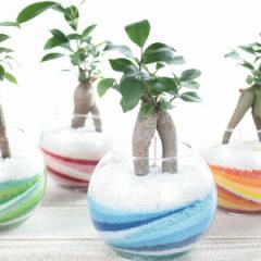 『カラーサンド ガジュマル』【観葉植物 ミニ ガジュマル カラーサンド インテリアグリーン ギフト】