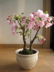 ツイン桜盆栽