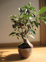 紅深山カイドウ  実物盆栽   開花のあと実がなります。