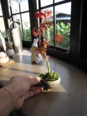 【盆栽】ミニ山もみじ【もみじ】 信楽鉢入りです。  秋には葉が紅葉します。