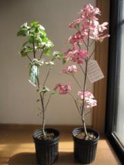 赤と白のかわいい ハナミズキ 二本セット  2016年 開花予定苗   春に赤と白の ハナミズキの   お花が見れます。