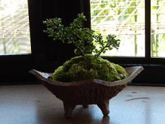 盆栽 長寿梅盆栽 とても 縁起の良い盆栽 誕生日プレゼントに 長寿梅盆栽のプレゼント