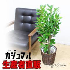 ガジュマル 幸せを呼ぶ多幸の木 観葉植物 鉢カバー付 中型〜大型サイズ ガジュマルの木 送料無料 在庫限り
