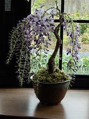 母の日ギフト プレゼント用に 2018年母の日限定 藤盆栽 藤のお花と 香りがが楽しめます