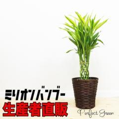 開運の竹 送料無料 ミリオンバンブー ドラセナ 鉢カバー付き ラッキーバンブー 観葉植物 中型 在庫限り