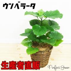 大人気 フィカス ウンベラータ ゴムの木 鉢カバー付(観葉植物/インテリア/引越し祝い/開店祝い/新築祝い) 在庫限り