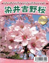 【桜苗木】 染井吉野(ソメイヨシノ)桜 13.5cm深ポット苗 【出荷時期:2月中旬〜】