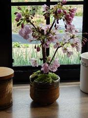 2015年 母の日限定販売 お届けは 5月 さくら盆栽 自宅でお花見を
