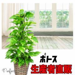 ポトス 鉢カバー付き 育てやすい観葉植物 (観葉植物/インテリア/引越し祝い/開店祝い/開業祝い/新築祝い) 在庫限り