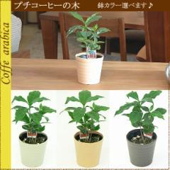 【装飾・鉢色選べる】プチコーヒーの木♪ 3号つやつや葉っぱが可愛い♪[観葉植物]