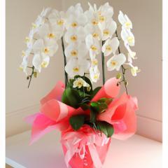 送料無料★大輪胡蝶蘭3本立 お花・フラワーギフトに 贈答用お祝い贈り物/激安 セール