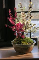 梅盆栽 【盆栽】信楽焼き入り紅白梅盆栽   2016年3月頃開花   おめでたい紅白梅
