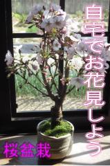 母の日に 今年おすすめ サクラ盆栽 御殿場桜盆栽 かわいい桜のお花見ができる 桜盆栽です