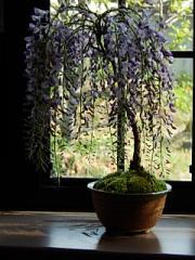 藤盆栽 薄紫のしだれ藤が 4月後半から5月に楽しめます