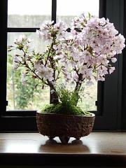 2018年4月頃に咲く桜盆栽自宅でお花見 プレゼントにもおすすめです