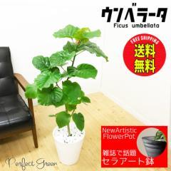 ウンベラータ 観葉植物 ホワイトセラアート鉢 フィカス ゴムの木 送料無料 在庫限り