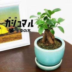 ガジュマル ガジュマルの木 観葉植物 陶器鉢植え 皿付き ブルーの陶器鉢 おしゃれ おしゃれな植木鉢 インテリア 在庫限り