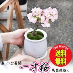 桜 一才桜 旭山 陶器鉢植え  盆栽 花芽付き 苔付き 送料無料 桜の木 ミニ ギフト 在庫限り