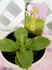 【多肉植物】 子宝草(こだからそう)3.5号鉢