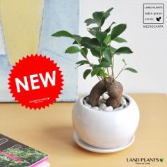 NEW!!  精霊の樹 がじゅまる 白色丸型陶器に植えた ガジュマル ギフトに最適ITEMを♪ 人参 ニンジンガジュマル  ガジュマロ