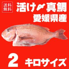 活け〆の真鯛を丸ごとお届け!2kgサイズ 【送料無料:北海道、沖縄除く】愛媛を筆頭に最良の鯛をお届けします!(養殖:クール冷蔵便)