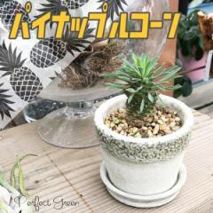 パイナップルコーン 陶器鉢植え 蘇鉄麒麟 ソテツキリン ユーフォルビア 観葉植物 本物  多肉植物 サボテン 在庫限り