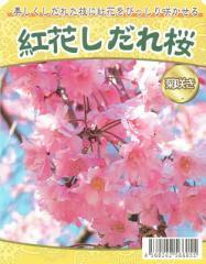 【桜苗木】 紅花しだれ桜 13.5cm深ポット苗 【出荷時期:2月中旬〜】