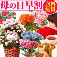 早割 母の日ギフト 選べる鉢植えとシフォンケーキセット 鉢花 送料無料