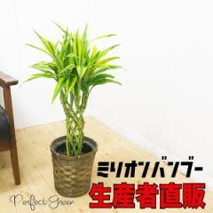 開運の竹 送料無料 ミリオンバンブー ドラセナ 鉢カバー付き ラッキーバンブー 観葉植物 本物 中型 在庫限り