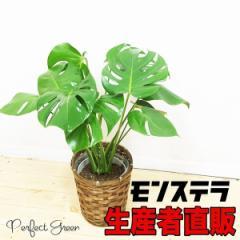モンステラ 鉢カバー付き (観葉植物/インテリア/引越し祝い/開店祝い) 在庫限り