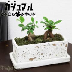 ガジュマル 観葉植物 多幸の木 2本立ち モダンなソリッドプランター植え ガジュマルの木 インテリア 在庫限り 送料無料