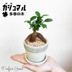 ガジュマル ガジュマルの木 観葉植物 本物 陶器鉢植え 皿付き アンティーク調の鉢植え おしゃれ おしゃれな植木鉢 インテリア 在庫限り