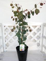 ユーカリ ポリアンセモス ポポラス シルバーダラーガム ハートの葉っぱ【庭木】【シンボルツリー】