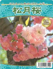 【桜苗木】 松月(しょうげつ)桜 13.5cm深ポット苗 【出荷時期:2月中旬〜】