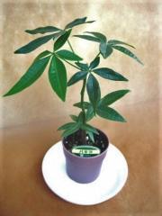 ミニ観葉植物 パキラ鉢植え(2.5)