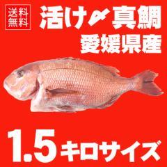 活け〆の真鯛を丸ごとお届け!1.5kgサイズ 【送料無料:北海道、沖縄除く】愛媛を筆頭に最良の鯛をお届けします!(養殖:クール冷蔵便)