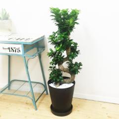 昇り龍樹形 ガジュマルの木 多幸の木 黒色セラアート鉢 昇り竜 観葉植物 インテリア ガジュマル 在庫限り