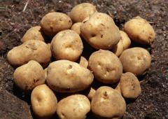 徳之島産 じゃがいも 5kg 全国一早い新じゃがで、でんぷん質が高いため、もっちりしてて煮崩れしにくい。収穫(2〜4月)