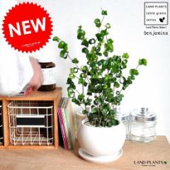 【TVでも紹介された品種】 ベンジャミン・バロック 白色丸型陶器に植えた ベンジャミナ ゴム ゴムの木
