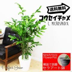 高性チャメドレア ヤシの木  観葉植物 本物 ホワイトセラアート鉢 送料無料 在庫限り