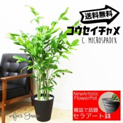 高性チャメドレア ヤシの木  観葉植物 本物 ブラックセラアート鉢 送料無料 在庫限り