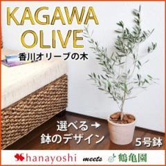 オリーブ 鉢植え 送料無料  鶴亀園さんの香川オリーブの木 5号鉢  オリーブの木 観葉植物 インテリア ギフト 引越し祝い