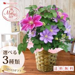 母の日ギフト 早割 2018 母の日限定♪選べる人気の豪華な鉢植え「2色植えクレマチス」5/9〜5/13の間にお届け